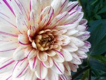 Georgina Dahlia variabilis. Dahlia variabilis close up photo image Stock Photography