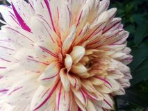 Georgina Dahlia variabilis. Dahlia variabilis close up photo image Royalty Free Stock Images