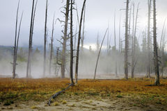 Geothermal Area, Yellowstone. Dead trees caused by sulphuric soil condition in a geothermal area, Yellowstone National Park, Wyoming, United States stock photography