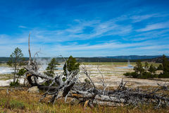 Dean pines and Geothermal under blue sky in yellowstone park. Geothermal with rising steam and dead pine trees in Yellowstone park royalty free stock photos