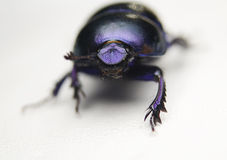 Geotrupes stercorarius Royalty Free Stock Photos
