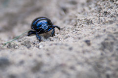 Geotrupes stercorarius Royalty Free Stock Photography