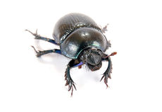 Geotrupes stercorarius, or earth-boring dung beetles, or dung be Royalty Free Stock Image