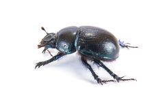 Geotrupes stercorarius, or earth-boring dung beetles, or dung be Stock Images