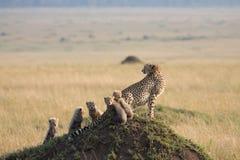 gepardów 5 lisiątek Obrazy Stock