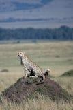 gepardów 5 lisiątek Obraz Stock
