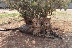 Gepardów bliźniacy w Południowa Afryka Obraz Stock