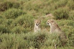 Gepardów bracia w Afryka zdjęcie royalty free