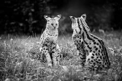 Gepardów dzieci Obrazy Royalty Free