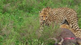Gepardów jeść ono modli się zdjęcie wideo