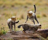 Gepardów lisiątka bawić się z each inny w sawannie Kenja Tanzania africa Park Narodowy kmieć Maasai Mara obrazy royalty free