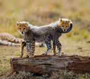 Gepardów lisiątka bawić się z each inny w sawannie Kenja Tanzania africa Park Narodowy kmieć Maasai Mara fotografia royalty free