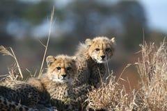 gepardów lisiątka Fotografia Royalty Free