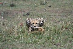 gepardów lisiątka Zdjęcie Stock