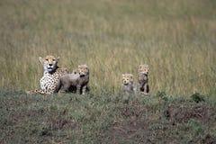 gepardów lisiątka Obrazy Stock