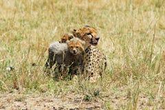 gepardów lisiątka Obraz Stock