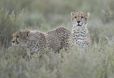 Gepardów lisiątka Obrazy Royalty Free