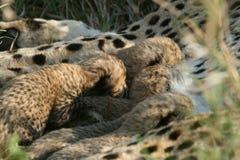 gepardów lisiątka Fotografia Stock