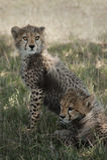 Gepardów lisiątka w Masai Mara Zdjęcie Stock