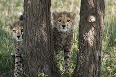 Gepardów lisiątka w Masai Mara Obraz Stock