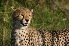 gepardów potomstwa Obrazy Royalty Free