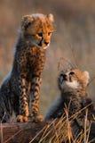 Gepardów rodzeństwa Zdjęcie Stock