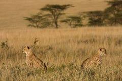 gepardów target1440_1_ Obraz Stock
