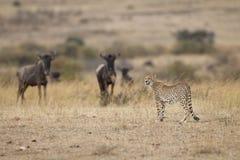 gepardów wildebeests Obraz Stock