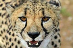 Gepard纳米比亚 免版税库存图片