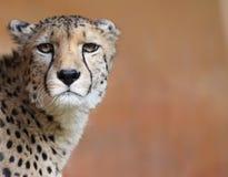 Gepard 01 Lizenzfreies Stockbild