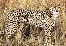 Gepard Stock Image