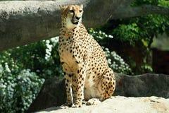 Gepard 免版税库存图片