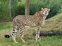 Gepard images stock