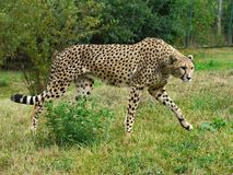 Gepard photographie stock