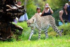 Gepard lizenzfreie stockbilder