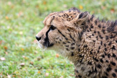 Gepard Royalty Free Stock Photography