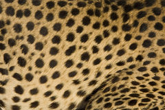 Gepard Stockfotos