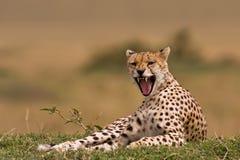 Gepard 2 Lizenzfreies Stockbild