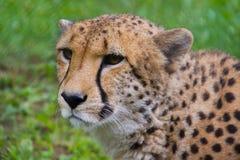Gepard Stockbild