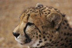 gepard Obrazy Stock