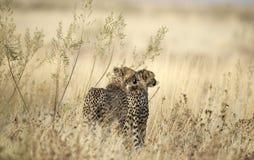 Gepard royaltyfria foton