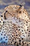 Gepard Obraz Stock