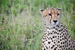 Gepard Obrazy Royalty Free