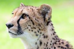 Gepard Fotografering för Bildbyråer