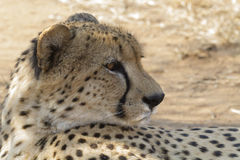 Gepard Zdjęcie Stock