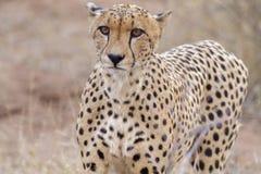 Gepard Arkivbild