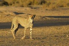 Gepard Royaltyfri Bild