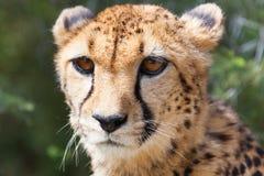Gepard 5 Stockbild