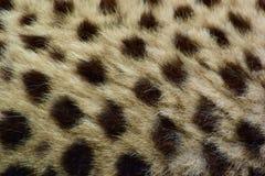 gepard fotografia stock