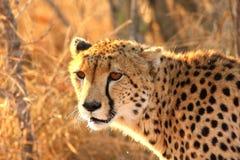 gepard Zdjęcia Royalty Free